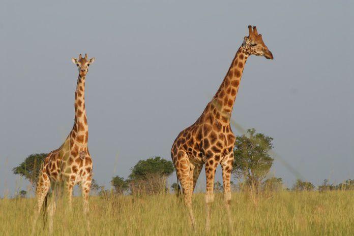 жирафы Уганда